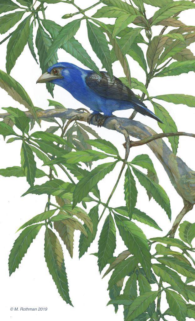 Michael Rothman, Ricostruzione di Eocoracis brachyptera + Staphylea germanica , dipinta con YInMn Blue. Foto per gentile concessione dell'artista.